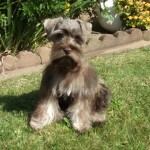 Two Creeks Tiny Schnauzers - Cloey (Tinsel/Jazz) is living with Terri in Calif.