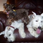 Two Creeks Tiny Schnauzers - Chocolate Dax (Sophie/Jazz) is living with Rachelle and his white step sisters in Texas.