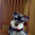 Two Creeks Tiny Schnauzers - Miss Finn is living with Colleen in Arkansas (Sophie/Jazz puppy)