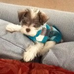 Two Creeks Tiny Schnauzers - Halle (Tinsel/Jazz) is living with Jimmy and Renee in NC