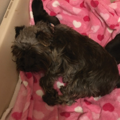 Lexi - AKC Registered Miniature Schnauzer